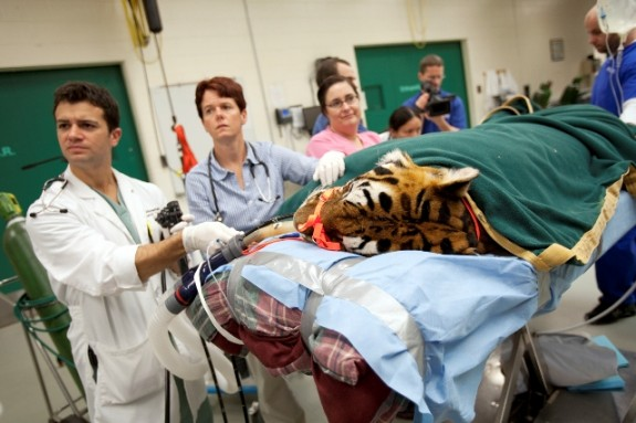 Dr. Rob Armentano, Dr. Kris Cooke and Dr. Jessica Emerson monitor this tiger during an endoscopic procedure conducted at the UF Small Animal Hospital on Feb. 10.