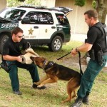 K-9 dogs practice with their handlers.