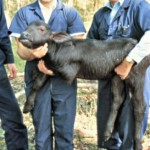"Drs. Maarten Drost and Wyland Cripe with ""Herman,"" the first water buffalo calf born as the result of an embryo transfer."