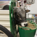 Zebu in ICU gets hemodialysis.