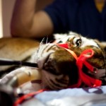 A tiger is shown receiving an endoscopic procedure at the UF Small Animal Hospital in 2012. (File photo)