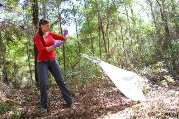 Dr. Katherine Saylor begins to extend a white sheet on a path in San Felasco Hammock on Jan. 6. The sheets attract ticks that Sayler use used in her research. (Photo by Mindy Cherisse Miller)