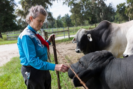 Dr. Temple Grandin gets up close and personal with bulls at the Santa Fe beef unit.