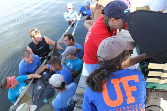 Dr. Megan Strobel monitors a hearing test being conducted on a stranded dolphin. (Photo courtesy of the Dolphin Research Center)