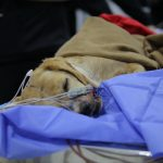 Blanca, a dog from Chile that received first-ever dialysis