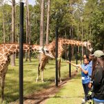 White Oak Plantation and giraffes.