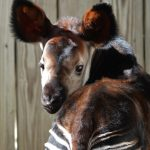 An endangered okapi calf, born on Dec. 4 at White Oak Conservation Foundation, enjoys the sunshine in its habitat on Jan. 19. The calf is recuperating well from a procedure performed Dec. 15 to remove an abnormal tissue growth from its eye. (Photos courtesy of White Oak Conservation Foundation)