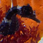 Louie the seahorse