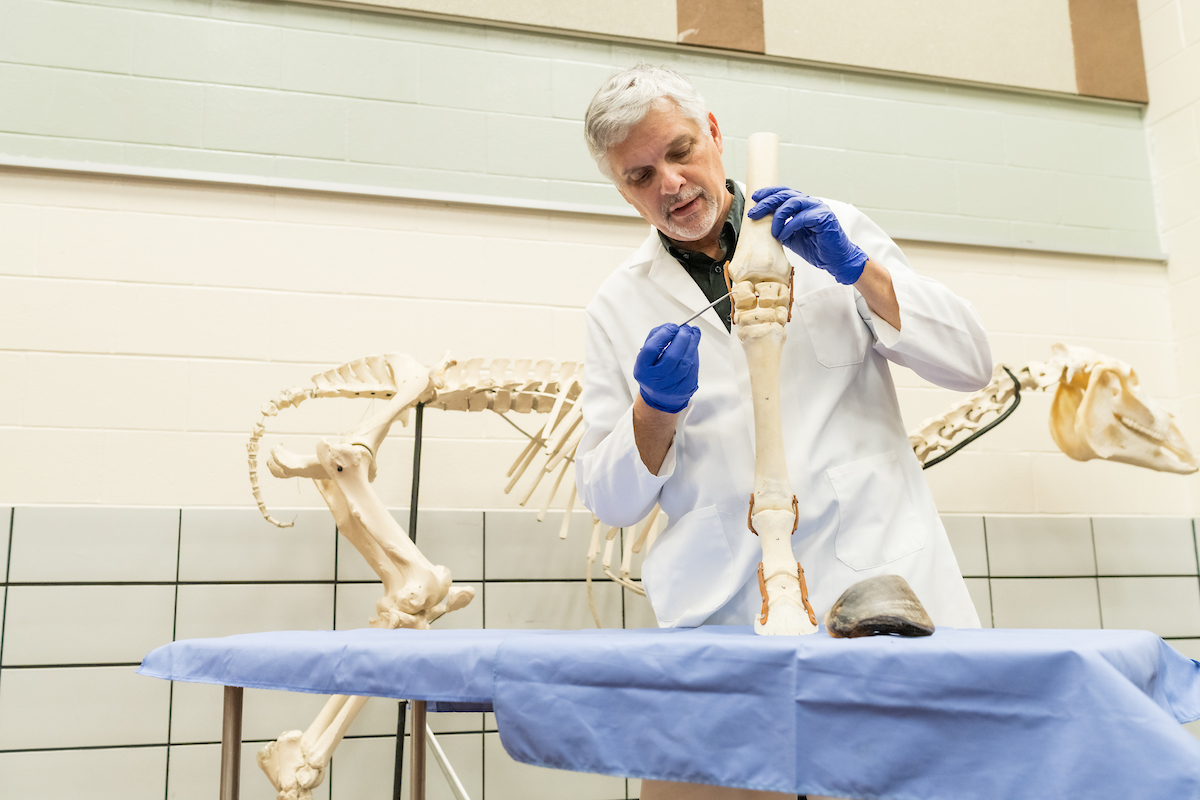 Dr. Rick Johnson demonstrates a large animal anatomy lesson such as he captured on video to provide students in his large animal anatomy class.